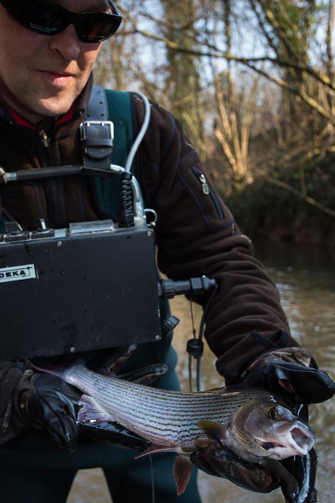 LSFV Naturschutzexperte Ralf Gerken zeigt eine gut 35 cm lange Äsche (Thymallus thymallus), gefangen beim Elektrofischen  im Krummen Wasser, Einbeck, März, Niedersachsen, Deutschland.